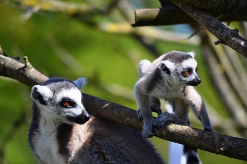 Lemurs, Haiku
