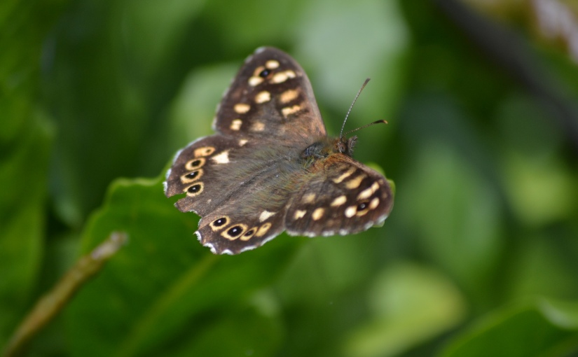 3/30 Speckled Wood