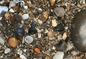 Close up of a fossil shark tooth, Bracklesham Bay