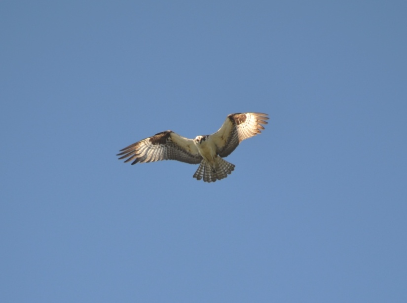 Osprey Haiku