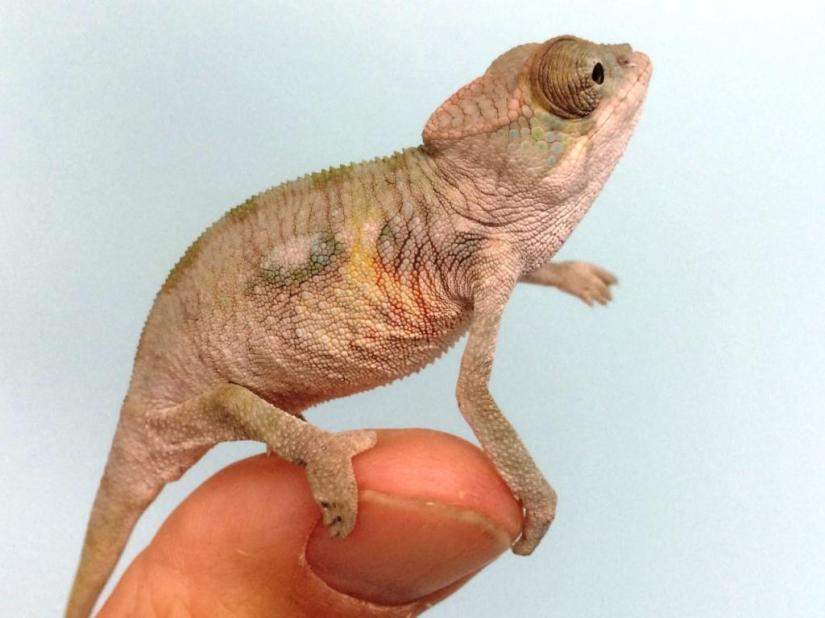 Picasso the chameleon