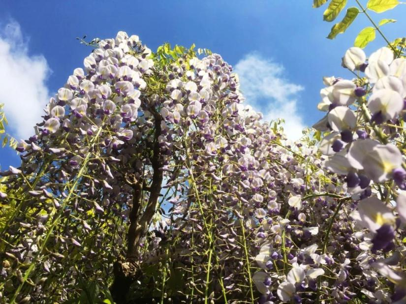 Wisteria, May 2017