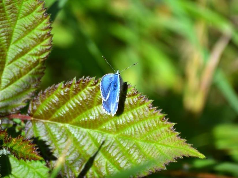 Blue butterfly, haiku