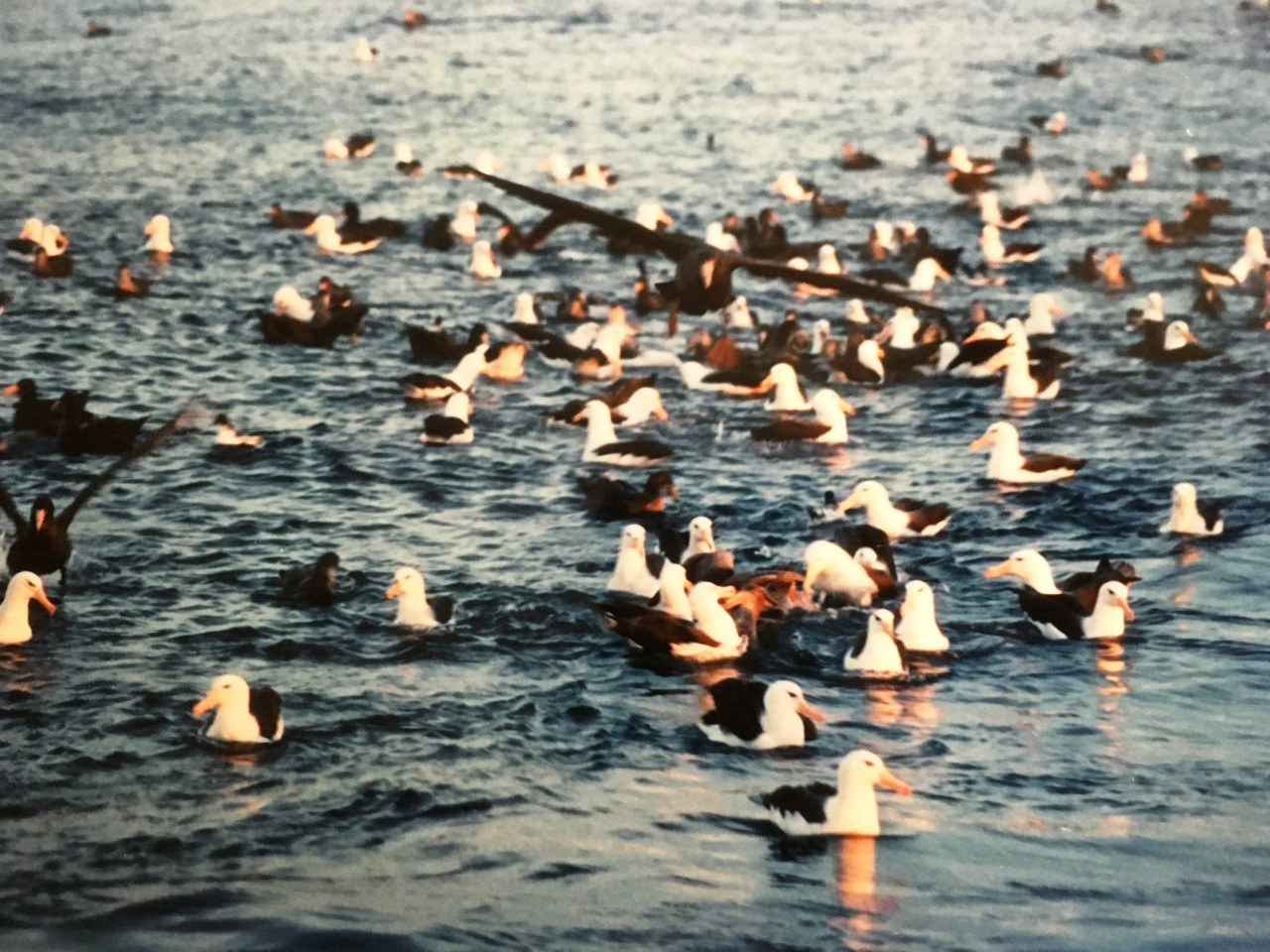 Black browed albatross and giant peterels alongside the Koei Maru 30, 1988