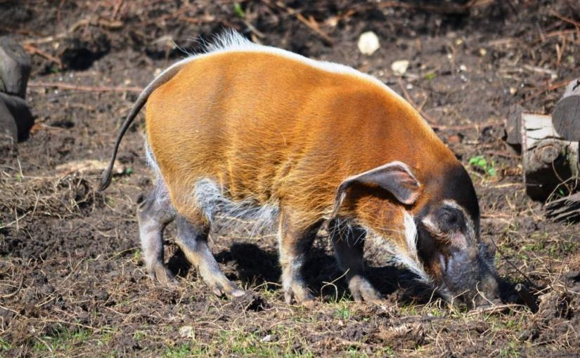 Red River Pig