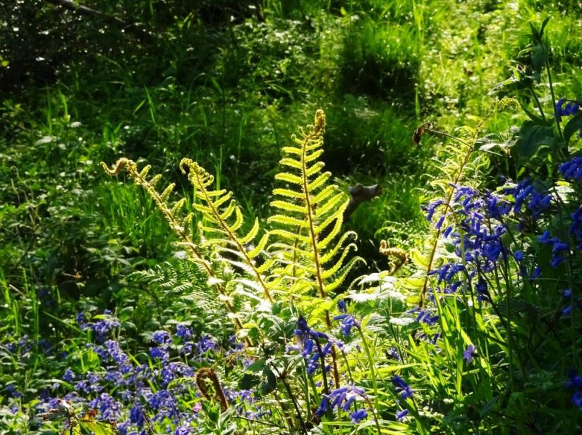 Bluebells and ferns, Haiku, Cornwall