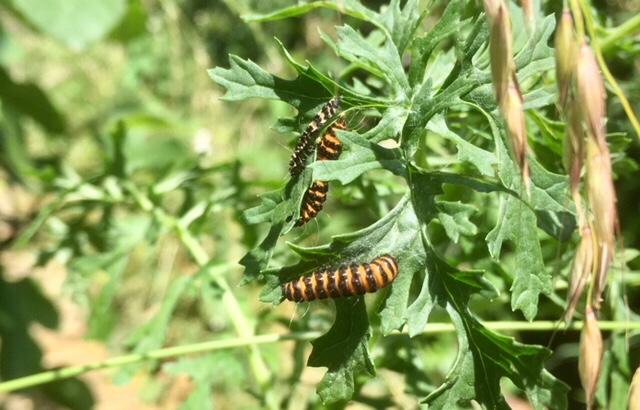 Cinnabar moth caterpillar, haiku