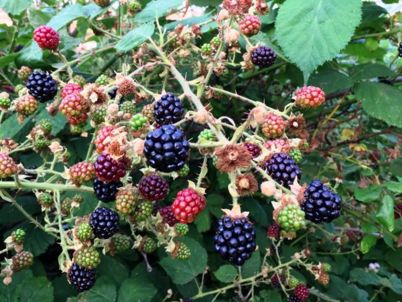 Blackberries, Bristol, UK