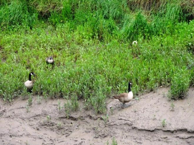 On the other side of the River Canada Geese graze in the thick estuarine mud,, River Avon cycle path, Bristol, June 2019