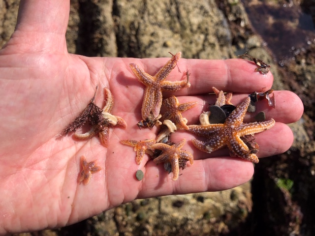 Starfish, Lansalos, Cornwall, September 2019