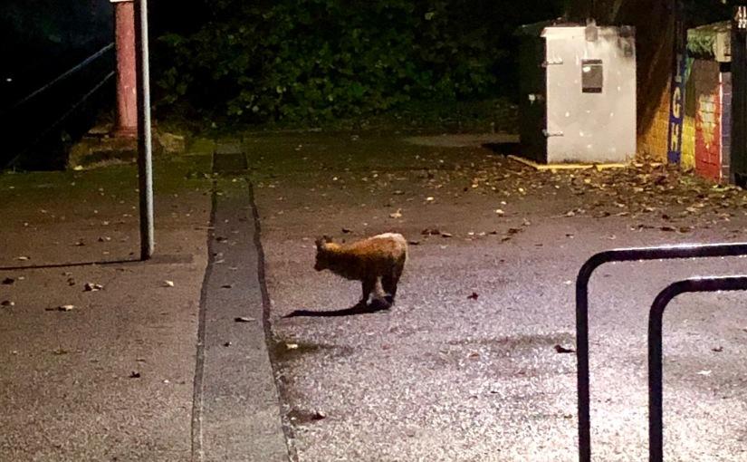 Redland fox