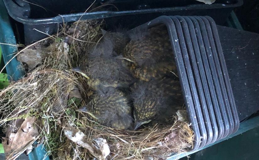 Five robin chicks, Redland, Bristol, April 2020