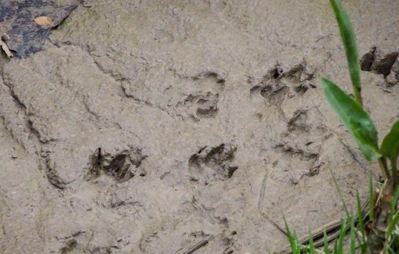 Otter footprints, River Avon, Bristol, November 2020