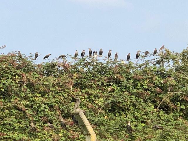 Starlings, Stoke Park, Bristol, September 2021